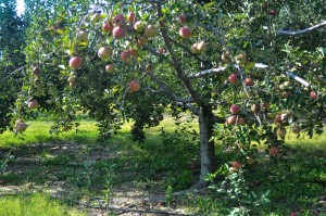 apple-farm-trees